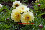 Garden Treasure Intersectional Pfingstrose Paeonia