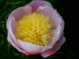Butterbowl  Pfingstrose Paeonia
