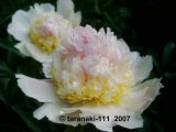 Top Brass  Pfingstrose Paeonia