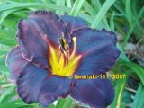 Black Stockings Hemerocallis Garten-Taglilie