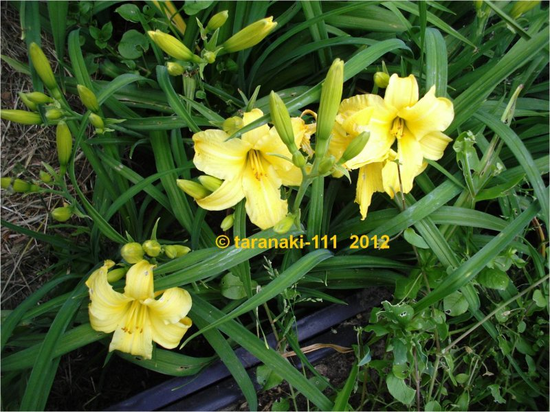 eenie weenie hemerocallis garten taglilie pfingstrosen taglilien dahlien online versand. Black Bedroom Furniture Sets. Home Design Ideas