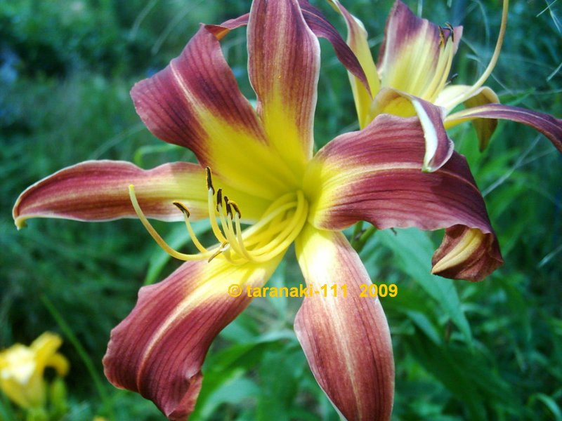 red suspenders hemerocallis garten taglilie pfingstrosen. Black Bedroom Furniture Sets. Home Design Ideas