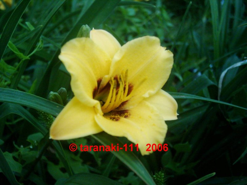 siloam june bug hemerocallis garten taglilie. Black Bedroom Furniture Sets. Home Design Ideas