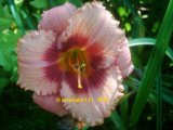 Strawberry Candy  Hemerocallis  Garten-Taglilie