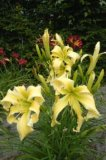 Heavenly Flight of Angels Hemerocallis Spider-Taglilie