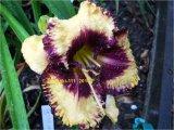 Ledgewoods Born Free  Hemerocallis Garten-Taglilie
