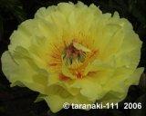 Bartzella gelbe Pfingstrose  Intersectional Hybride