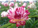Fire Works Pfingstrose Paeonia
