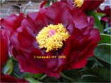 Mackinac Grand  Pfingstrose Paeonia