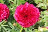 Red Grace Pfingstrose Paeonia