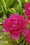 Lady Kate Pfingstrose Paeonia