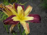 Applique Hemerocallis Garten-Taglilie