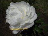 Boule Blanche Pfingstrose Paeonia