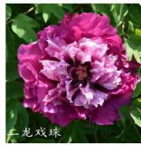 Rockii-Strauchpfingstrose Er Long Xi Zhu im 2l Topf  Paeonia