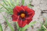 Velvet Eyes  Hemerocallis Garten-Taglilie