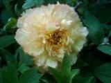 Strauch - Pfingstrose Kinshi  Cromatella gelbe Paeonie 2j.Vdl. im Container