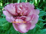 Hillary Intersectional Pfingstrose Paeonia