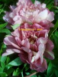 Copper Kettle Intersectional Pfingstrose Paeonia