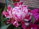 Candy Stripe  Pfingstrose Paeonia