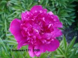 Big Ben  Pfingstrose Paeonia