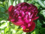 Big Red Boomer Sooner Pfingstrose Paeonia