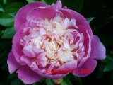 Bowl of Beauty Pfingstrose Paeonia