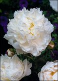 Bowl of Cream Pfingstrose Paeonia