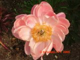 Coral Charm Pfingstrose Paeonia
