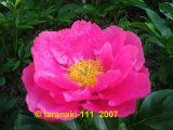 Coral Fay  Pfingstrose Paeonia