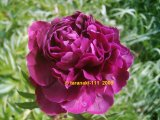 Grover Cleveland  Pfingstrose Paeonia