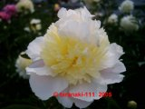 Honey Gold  Pfingstrose Paeonia