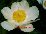 Krinkled White Pfingstrose Paeonia