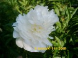 My Love  Pfingstrose Paeonia