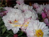 Peaches and Cream Pfingstrose Paeonia