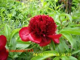Red Charm Pfingstrose Paeonia