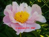 Sea Shell Pfingstrose Paeonia