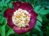 Sword Dance Pfingstrose Paeonia