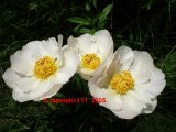 Yellow King  Pfingstrose Paeonia