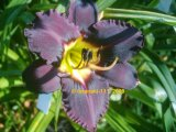 Bela Lugosi  Hemerocallis Garten-Taglilie