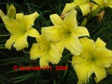Big Bird   Hemerocallis Garten-Taglilie