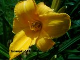 Chicago Sunrise Hemerocallis  Garten-Taglilie