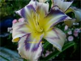 Destined to see  Hemerocallis  Garten-Taglilie