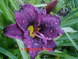 Grape Velvet  Hemerocallis  Garten-Taglilie