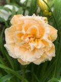 Ikebana Star  Hemerocallis gef?llte Garten-Taglilie