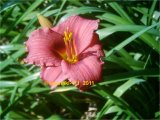Siloam Red Toy  Hemerocallis  Garten-Taglilie-